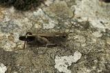 Aiolopus Strepens (Grasshopper) - on Stone Photographic Print by Paul Starosta