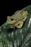 Hyla Gratiosa (Barking Treefrog) Photographic Print by Paul Starosta