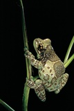 Phrynohyas Resinifictrix (Amazon Milk Frog) Photographic Print by Paul Starosta