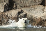 Swimming Polar Bear, Hudson Bay, Nunavut, Canada Photographic Print by Paul Souders