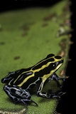 Ranitomeya Ventrimaculata (Reticulated Poison Frog) Photographic Print by Paul Starosta