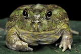 Chacophrys Pierottii (Lesser Chini Frog, Chaco Horned Frog) Photographic Print by Paul Starosta
