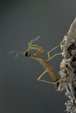 Mantis Religiosa (Praying Mantis) - Larva Newly Emerged from Ootheca Photographic Print by Paul Starosta