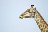 Giraffe, Moremi Game Reserve, Botswana Photographic Print by Paul Souders