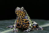 Bombina Orientalis (Oriental Fire-Bellied Toad) Photographic Print by Paul Starosta
