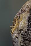 Mantis Religiosa (Praying Mantis) - Hatching Photographic Print by Paul Starosta