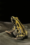 Kassina Senegalensis (Senegal Running Frog) Photographic Print by Paul Starosta
