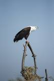 Fish Eagle, Chobe National Park, Botswana Photographic Print by Paul Souders
