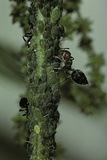 Crematogaster Scutellaris - Ants with Aphids Photographic Print by Paul Starosta