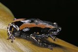 Phrynomantis Bifasciatus (Banded Rubber Frog) Photographic Print by Paul Starosta