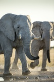 African Elephants, Nxai Pan National Park, Botswana Photographic Print by Paul Souders