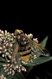 Volucella Zonaria (Hornet Mimic Hoverfly) Photographic Print by Paul Starosta