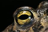 Bufo Calamita (Natterjack Toad) - Eye Photographic Print by Paul Starosta