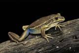 Litoria Aurea (Green and Golden Bell Frog) Photographic Print by Paul Starosta
