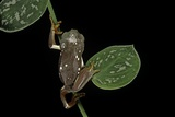 Pachymedusa Dacnicolor (Mexican Leaf Frog) Photographic Print by Paul Starosta