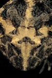 Ceratophrys Cranwelli (Cranwell's Horned Frog, Chacoan Horned Frog) Photographic Print by Paul Starosta
