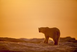 Polar Bear on Sea Ice, Hudson Bay, Nunavut, Canada Papier Photo par Paul Souders