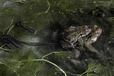Bufo Bufo (European Toad, Common Toad) - Mating Photographic Print by Paul Starosta
