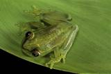Hyperolius Sp. (African Reed Frog) Photographic Print by Paul Starosta