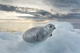 Ringed Seal Pup on Iceberg, Nunavut Territory, Canada Photographic Print by Paul Souders