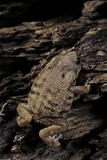 Arthroleptis (Squeaking Frogs) Photographic Print by Paul Starosta