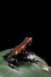 Adelphobates Galactonotus (Splash-Backed Poison Frog) Photographic Print by Paul Starosta