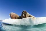 Walrus Herd on Ice, Hudson Bay, Nunavut, Canada Fotografisk tryk af Paul Souders