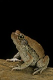 Schismaderma Carens (Red Toad) Photographic Print by Paul Starosta