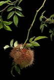 Diplolepis Rosae (Mossy Rose Gall Wasp) - Rose Bedeguar Gall Photographic Print by Paul Starosta