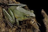 Odorrana Hosii (Poisonous Rock Frog) Photographic Print by Paul Starosta