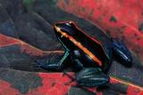 Phyllobates Vittatus (Golfodulcean Poison Frog) Photographic Print by Paul Starosta