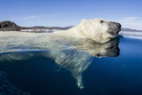 Polar Bear Swimming, Nunavut, Canada Photographic Print by Paul Souders