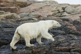 Polar Bear Walking along Hudson Bay, Nunavut, Canada Photographic Print by Paul Souders