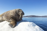 Walrus on Ice, Hudson Bay, Nunavut, Canada Photographic Print by Paul Souders