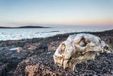 Polar Bear Skull, Hudson Bay, Nunavut, Canada Photographic Print by Paul Souders