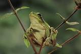 Hyla Meridionalis (Mediterranean Tree Frog) Photographic Print by Paul Starosta