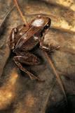 Arthroleptis Variabilis (Buea Screeching Frog) Photographic Print by Paul Starosta