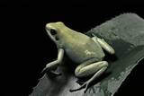 Phyllobates Terribilis F. Mint (Golden Poison Frog) Photographic Print by Paul Starosta