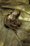 Arthroleptis Variabilis (Buea Screeching Frog) Photographic Print by Paul Starosta