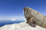 Walrus on Iceberg, Hudson Bay, Nunavut, Canada Fotografisk tryk af Paul Souders