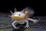 Ambystoma Mexicanum F. Leucistic (Axolotl) Papier Photo par Paul Starosta