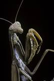 Mantis Religiosa (Praying Mantis) - Photographic Print by Paul Starosta