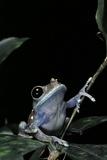 Leptopelis Uluguruensis (Uluguru Forest Treefrog) Photographic Print by Paul Starosta