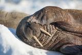 Walrus on Sea Ice, Hudson Bay, Nunavut, Canada Fotografisk tryk af Paul Souders