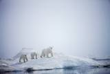 Polar Bears in Fog, Hudson Bay, Nunavut, Canada Photographic Print by Paul Souders