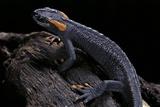 Tylototriton Taliangensis (Taliang Knobby Newt) Fotografisk tryk af Paul Starosta