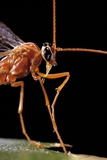 Ophion Luteus (Ichneumon Wasp, Yellow Ophion) - Portrait Photographic Print by Paul Starosta