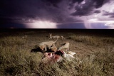 Cheetah Cubs and Lightning Storm, Ngorongoro Conservation Area, Tanzania Photographic Print by Paul Souders
