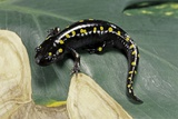 Ambystoma Maculatum (Spotted Salamander) Photographic Print by Paul Starosta