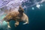 Underwater Walrus, Hudson Bay, Nunavut, Canada Reprodukcja zdjęcia autor Paul Souders